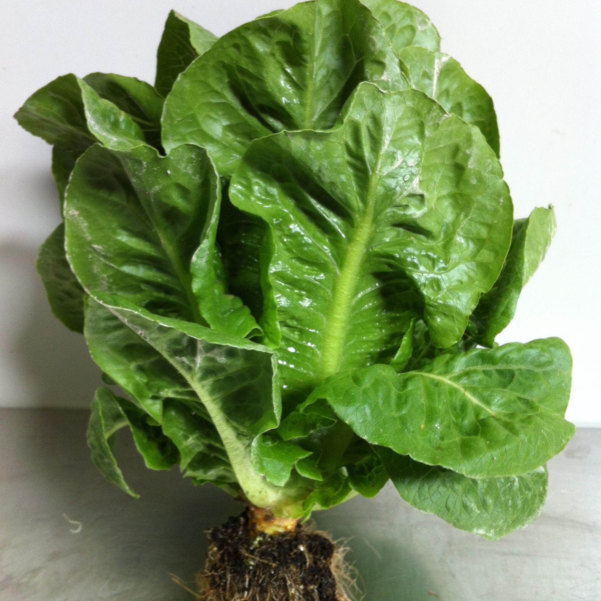 Baby Cos Lettuce ea